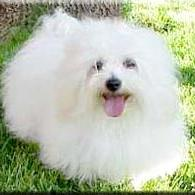 Coton de Tulear in snow white.jpg