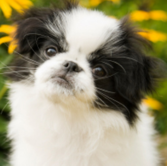 Japanese Chin puppy with three tones.PNG