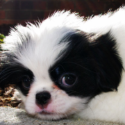 Adorable dog pictures of Japanese Chin puppy.PNG