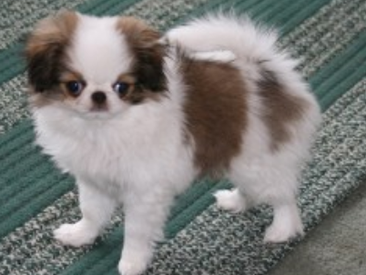 Brown and white Japanese Chin puppy.PNG