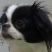 Close up picture of dog face with Japanese Chin puppy with black ears.PNG