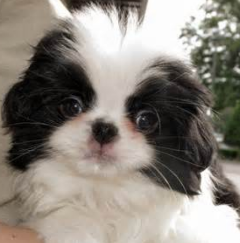 Dog face photo of Japanese Chin puppy with white and black ears.PNG