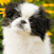 Japanese Chin puppy with three tones - Copy.PNG