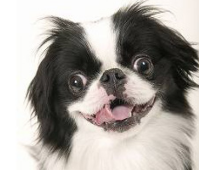 Puppy face picture of Japanese Chin puppy with funny looking face.PNG