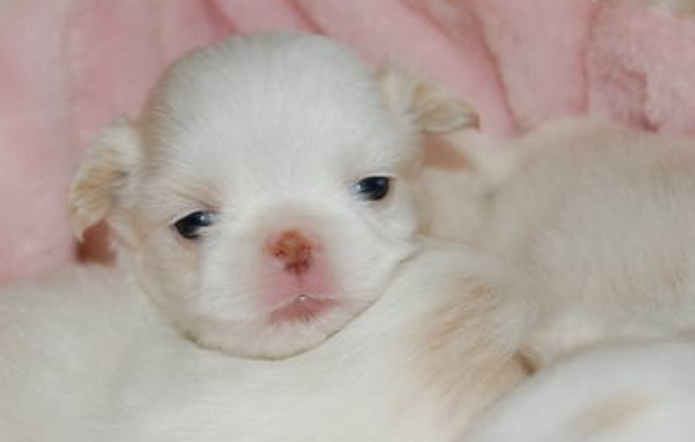 Young Japanese Chin puppy photo.PNG