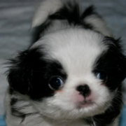 Adorable puppy picture of Japanese Chin dog in white and black.PNG