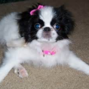 Cute puppy photo of Japanese Chin dog.PNG