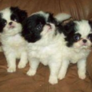 Japanese Chin puppies pictures.PNG