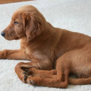 Short hair puppy picture of a Irish Setter puppy.PNG