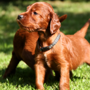 Sweet looking Irish Setter puppy standing in the sun on the grass looking ready to play with its friends.PNG
