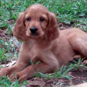 Beautiful puppy picture of Irish Setter puppy.PNG