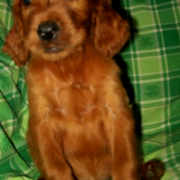 Cute dog picture of Irish Setter puppy in tan.PNG