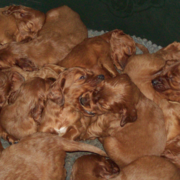 Irish Setter breeds pictures.PNG