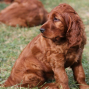 Light brown dog pictures of Irish Setter puppies.PNG