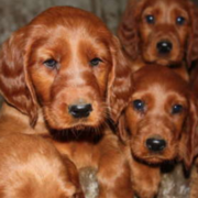 Long ear dogs pictures of Irish Setter pups.PNG