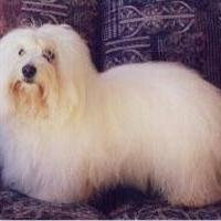 Coton de Tulear with long hair.JPG