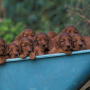 Irish Setter Puppies images on a wagon.PNG