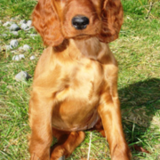 Irish Setter Puppy posting to the camera standing in the sun and grass.PNG