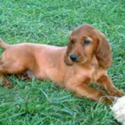 Playful puppy pictures of a Irish Setter dog on the grass.PNG