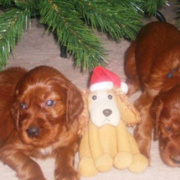 Tan dog breeds of Irish Setter Puppies.PNG