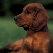 Beautiful tan dog picture of Irish Setter Puppy laying on the grass chilling out.PNG