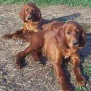 Irish Setter dogs picture chilling out.PNG