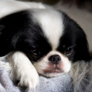 Sleeping Japanese Chin Puppy in white and black.PNG