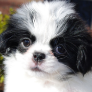 Young Japanese Chin Puppy images.PNG