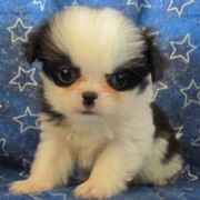 Cute young dog pictures of Japanese Chin Puppy.PNG