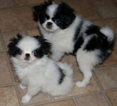 Japanese Chin Puppies images.PNG