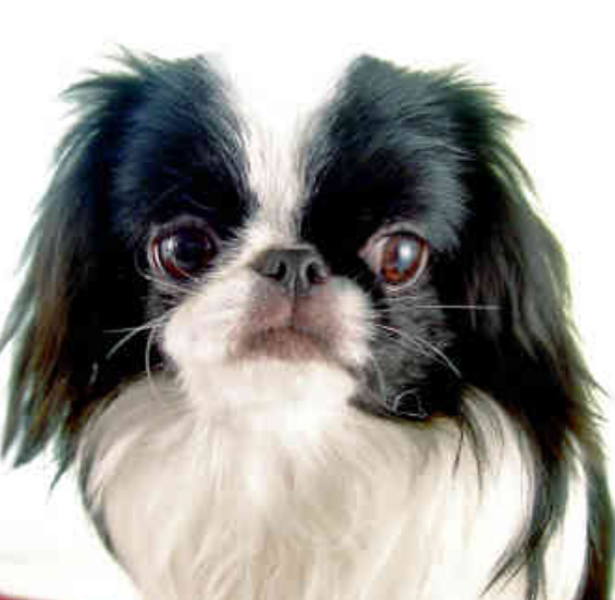 Japanese Chin Puppy wallpaper pictures.PNG