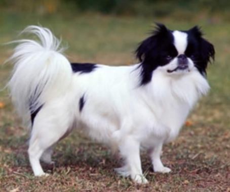 Picture of Japanese Chin Puppy in mostly white with black area on the face and lower back.PNG
