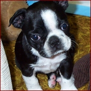 Boston Terrier pup1