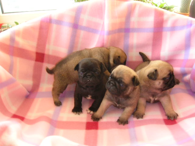 pug puppies in group