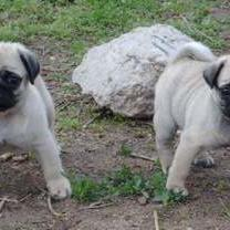 pug puppies_two