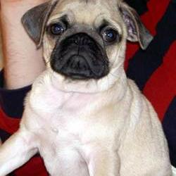 pug puppy_fun face