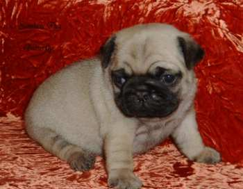 pug puppy_very cute