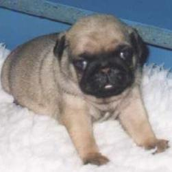 pug puppy_young