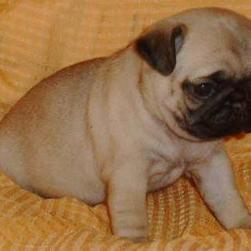 pug puppy-tan and black