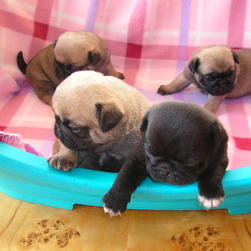 pug pups in group
