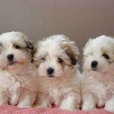 Coton de Tulear_three.JPG