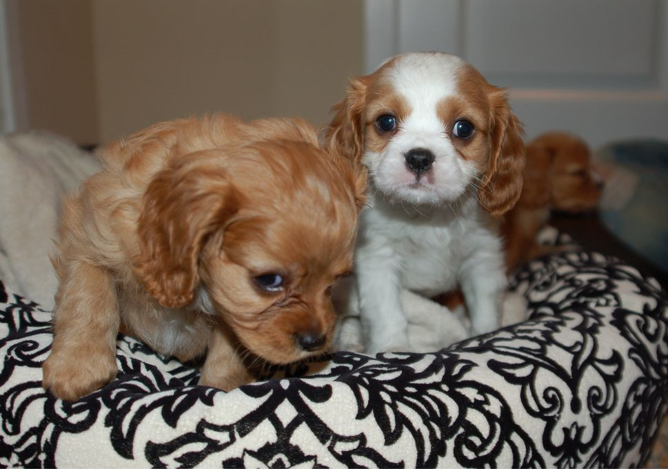 white and tan Cocker Spaniel pups