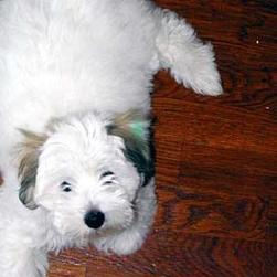 Coton puppy with lite brown ears.jpg