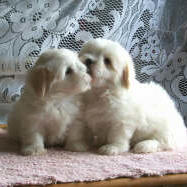 coton_puppies kissing.jpg