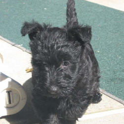 Abby Mae  scottish terrier