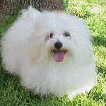 coton-de-tulear in snow white.jpg
