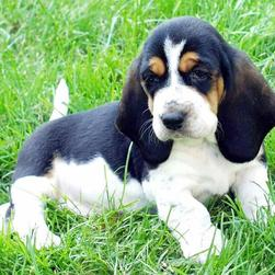 basset pup in white, black and tan.jpg
