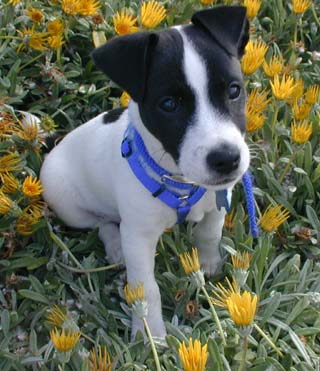 jack russell terrier black and white - photo #37