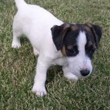 Pics of Jack Russell Terrier Puppies
