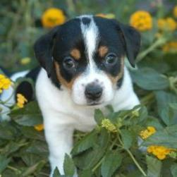 Jack Russell Terrier in flowers.jpg
